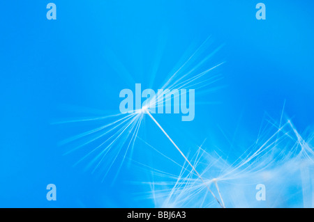 Dandelion seeds blowing in the wind - Stock Photo