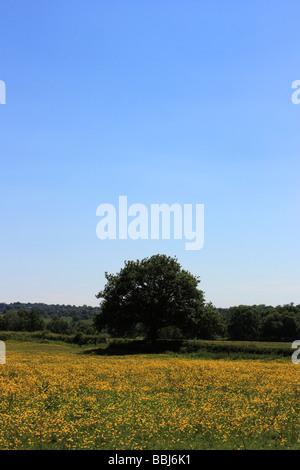 An oak tree in a field of buttercups under a clear, blue sky - Stock Photo