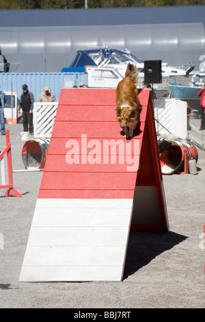 dog agility competition - Stock Photo