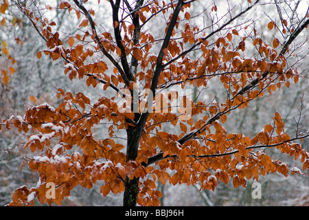 European Beech or Common Beech ( Fagus sylvatica ). Trunk, branches and leaves in autumn. - Stock Photo