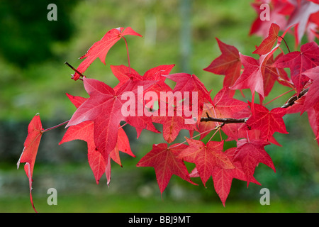 American Sweetgum, Redgum  ( Liquidambar styraciflua ) leaves in autumn. - Stock Photo