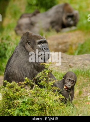 Western lowland gorilla Gorilla gorilla gorilla Adult female with 18 month old baby Captive - Stock Photo