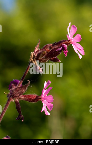 Red Campion (Silene dioica) in flower - Stock Photo