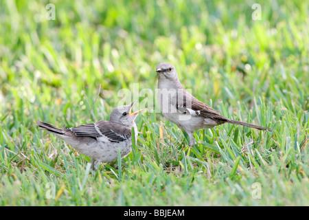 Northern Mockingbird with Fledgling - Stock Photo