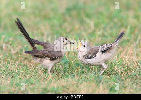 Northern Mockingbird feeding Fledgling - Stock Photo