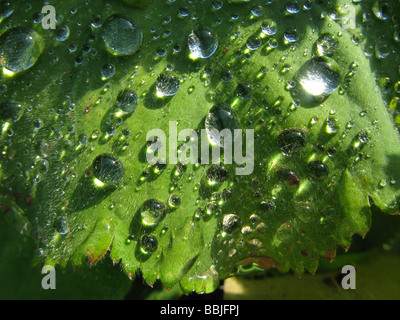 Water droplets on leaves of Alchemilla mollis plant, better known as Garden Lady's Mantle - Stock Photo