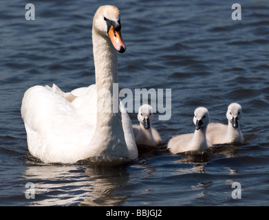 A swan with her three cygnets swimming at Pen Ponds in Richmond Park, Surrey. - Stock Photo