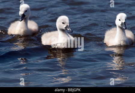 Three fluffy young cygnets, swimming along on pen ponds in Richmond Park, Surrey. - Stock Photo
