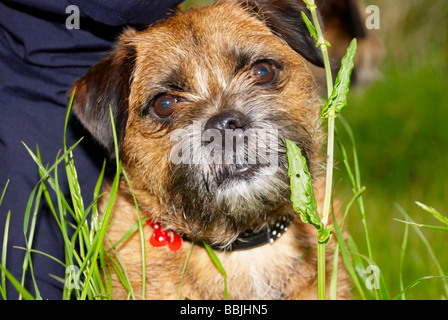 border terrier out on a walk with it's owner - Stock Photo
