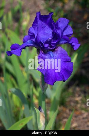 Blue Bearded Iris Deep Pacific - Stock Photo