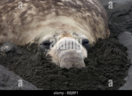 Southern Elephant Seal (Mirounga leonina) with snout dug into sand, Gold Harbor, South Georgia Island - Stock Photo