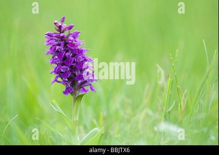 Dactylorhiza purpurella, Northern Marsh orchid - Stock Photo