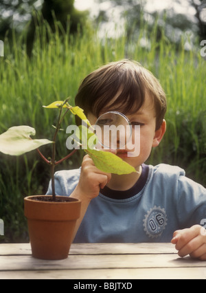 Boy looking at runner bean plant with magnifying glass - Stock Photo