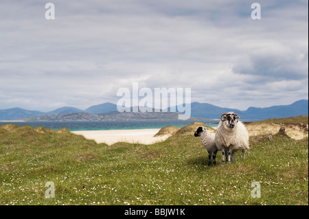 Sheep on machair, Traigh Scarista beach, Isle of Harris, Outer Hebrides, Scotland - Stock Photo