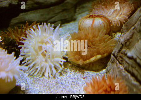 Sea Anemones, Actiniaria - Stock Photo