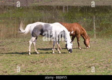 Horses grazing in a pasture next to a corn field ...
