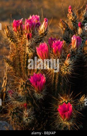 USA Arizona Picacho Cactus in bloom Picacho Peak State Park - Stock Photo