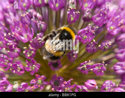 White tailed Bumble Bee (Bombus lucorum) on Allium flower, UK - Stock Photo