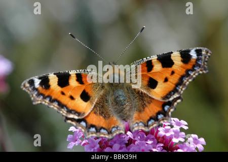 Small tortoiseshell butterfly Aglais urticae - Stock Photo