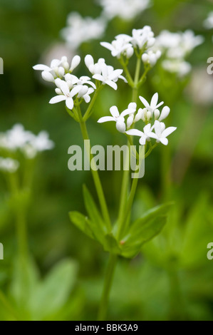 Sweet woodruff Galium odoratum - Stock Photo