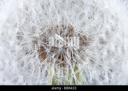 Extreme closeup of a fluffy soft dandelion - Stock Photo