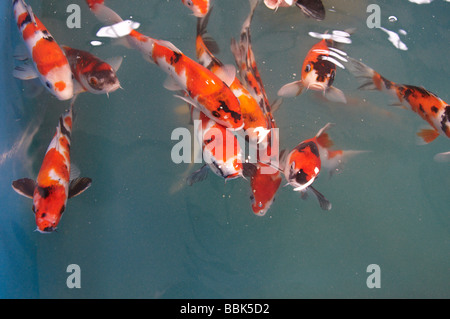 Koi carp swimming at surface of water full frame stock for Koi ponds near me