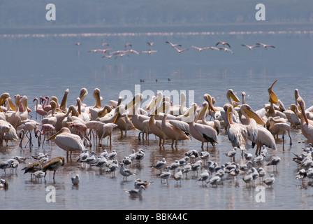 great white Pelicanus PELECANUS ONOCROTALUS NAKURU NATIONAL PARK KENYA East Africa - Stock Photo