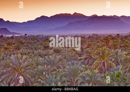 Date palms at dusk Mulege Sierra de Guadalupe in distance Baja California Sur Mexico - Stock Photo