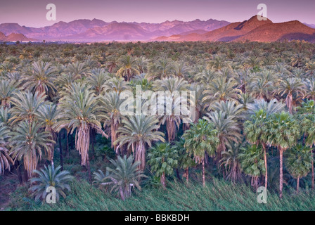 Date and fan palms at sunrise Mulege Sierra de Guadalupe in distance Baja California Sur Mexico - Stock Photo