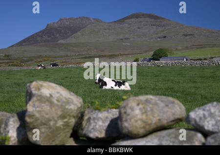 cows sitting in a field with dry stone wall beneath slieve binnian in the mourne mountains county down northern - Stock Photo