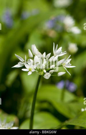 Wild garlic, Allium ursinum, also known also as Ramsons, Ransomes, Devil's Posy, Onion Flower, Stinkplant or Bear's - Stock Photo