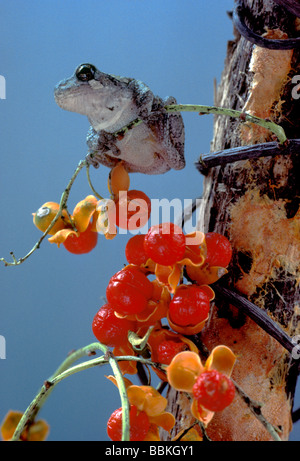 Grey tree frog (Hyla versicolor) looking out from branch of orange bittersweet (Celastrus scandens) - Stock Photo