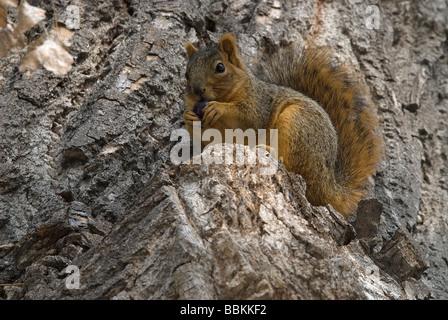 Eastern Fox Squirrel Sciurus niger Pueblo Nature Center Colorado USA - Stock Photo