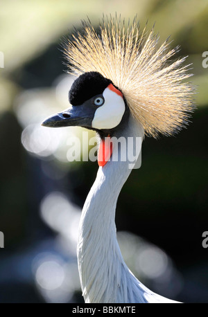 African Crowned Crane. - Stock Photo