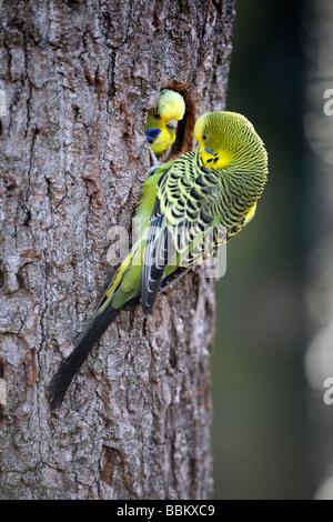 Pair of parakeets (Melopsittacus undulatus) in natural colours, at nesting hole, Australia - Stock Photo