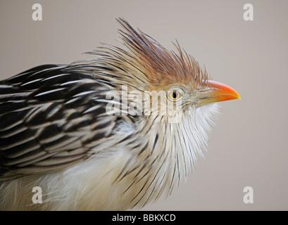 Guira Cuckoo (Guira guira), Brazil - Stock Photo