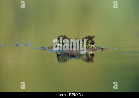 American Alligator Alligator mississipiensis adult swimming Welder Wildlife Refuge Sinton Texas USA June 2005 - Stock Photo