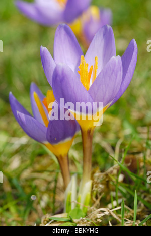 Violet crocus (Crocus sativa), flowers on meadow - Stock Photo