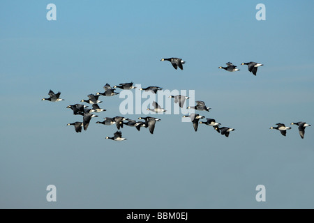 Barnacle Goose (Branta leucopsis), flock of birds, flying - Stock Photo