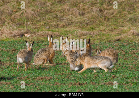 Hares (Lepus europaeus) - Stock Photo