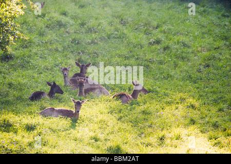 Five female Fallow deer does Dama dama sitting in evening sun chewing cud - Stock Photo