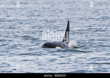 Orca, Killer Whale (Orcinus orca), male, dorsal fin, Alaska, USA - Stock Photo