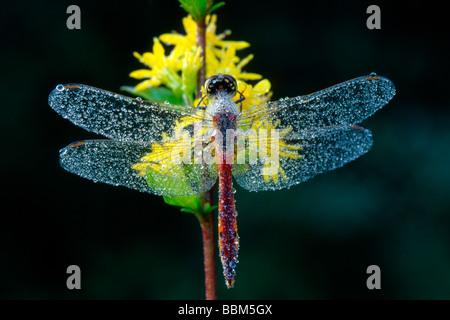 Ruddy Darter (Sympetrum sanguineum), Filz, Woergl, Tyrol, Austria, Europe - Stock Photo
