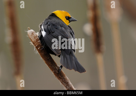 Yellow-headed Blackbird - Stock Photo