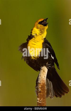 Yellow-headed Blackbird - Stock Photo