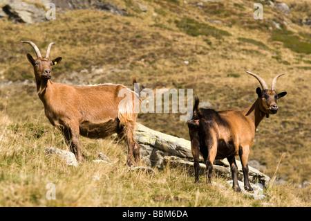 Passeirer mountain goats, Ober-Glanegg alpine pasture, Timmelsjoch ridge, Hinterpasseier, Bolzano-Bozen, Italy, - Stock Photo