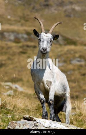 Passeirer mountain goat, Ober-Glanegg alpine pasture, Timmelsjoch ridge, Hinterpasseier, Bolzano-Bozen, Italy, Europe - Stock Photo