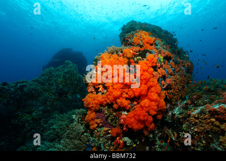 Underwater scenery with coral block at coral reef with many Red softcorals (Nephtheidae) and fish, Gangga Island, Bangka Island