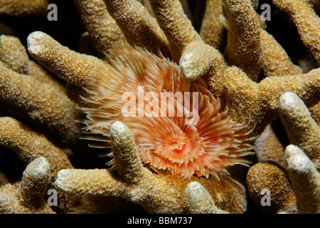 Magnificent tube worm (Protula magnifica) living in stonecoral, Gangga Island, Bangka Islands, North Sulawesi, Indonesia, - Stock Photo