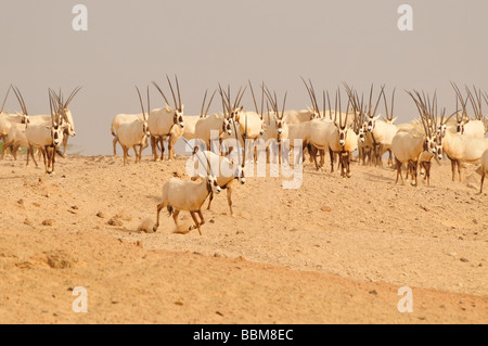 Arabian Oryx (Arabian Oryx), Sir Bani Yas Island, Abu Dhabi, United Arab Emirates, Arabia, Near East, Orient - Stock Photo